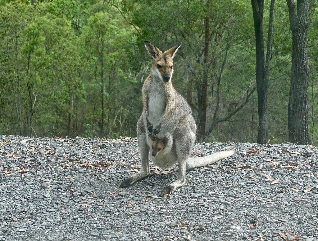 kangaroo, wallaby, joey