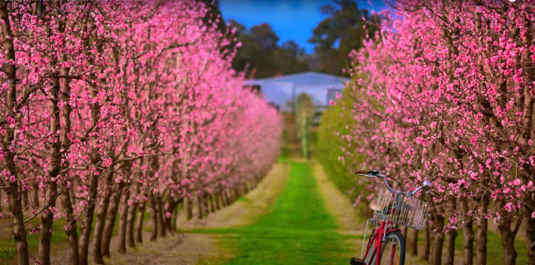 Bickley Valley Wine and Blossom Tour.